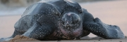 Isle of Palms Renourishment Project Credited for Turtle Nest Discovery